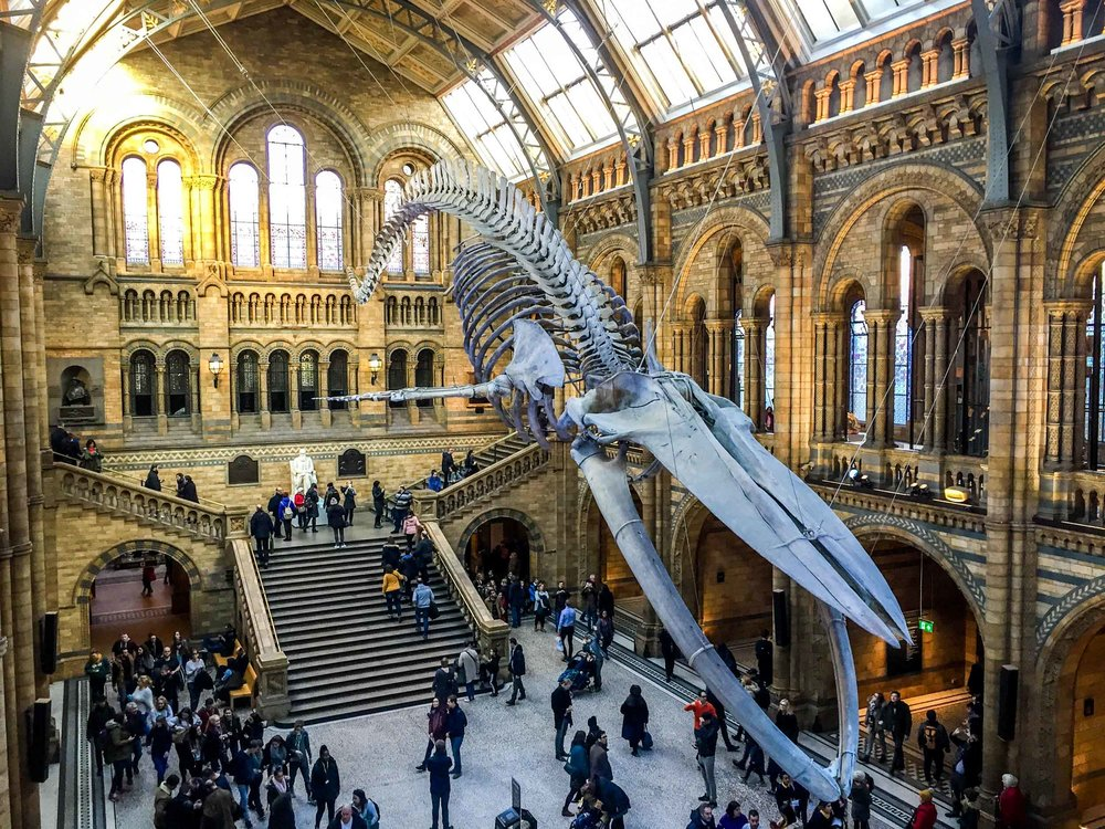 Hintze hall, the entrance of the London Natural History Museum with the skeleton of a blue whale suspended.