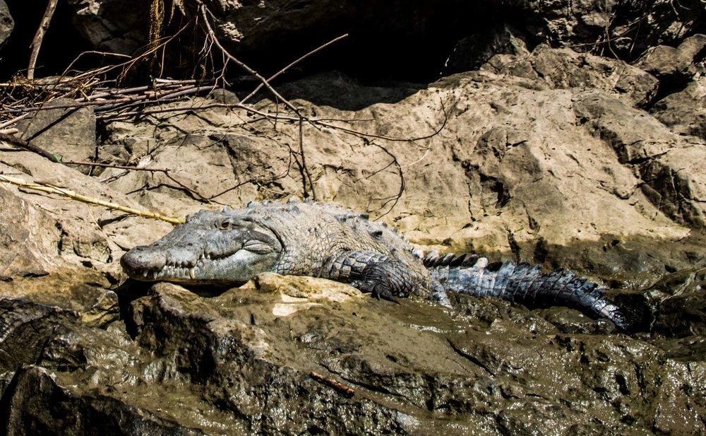Crocodile in the Cañon del Sumidero, Mexico.