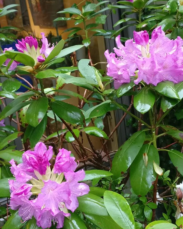 Rhododendrons love a wet spring. This planting always surprises me when it works. #powerofnature  #lovemygarden