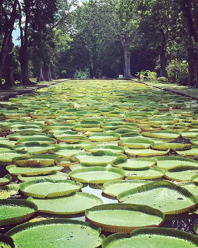 Giant lily pads at the #beautiful #botanicalgardens #pamplemousse #mauritius  Tip: you can pick up a local guide at the entrance - well worth it for all that fascinating knowledge!