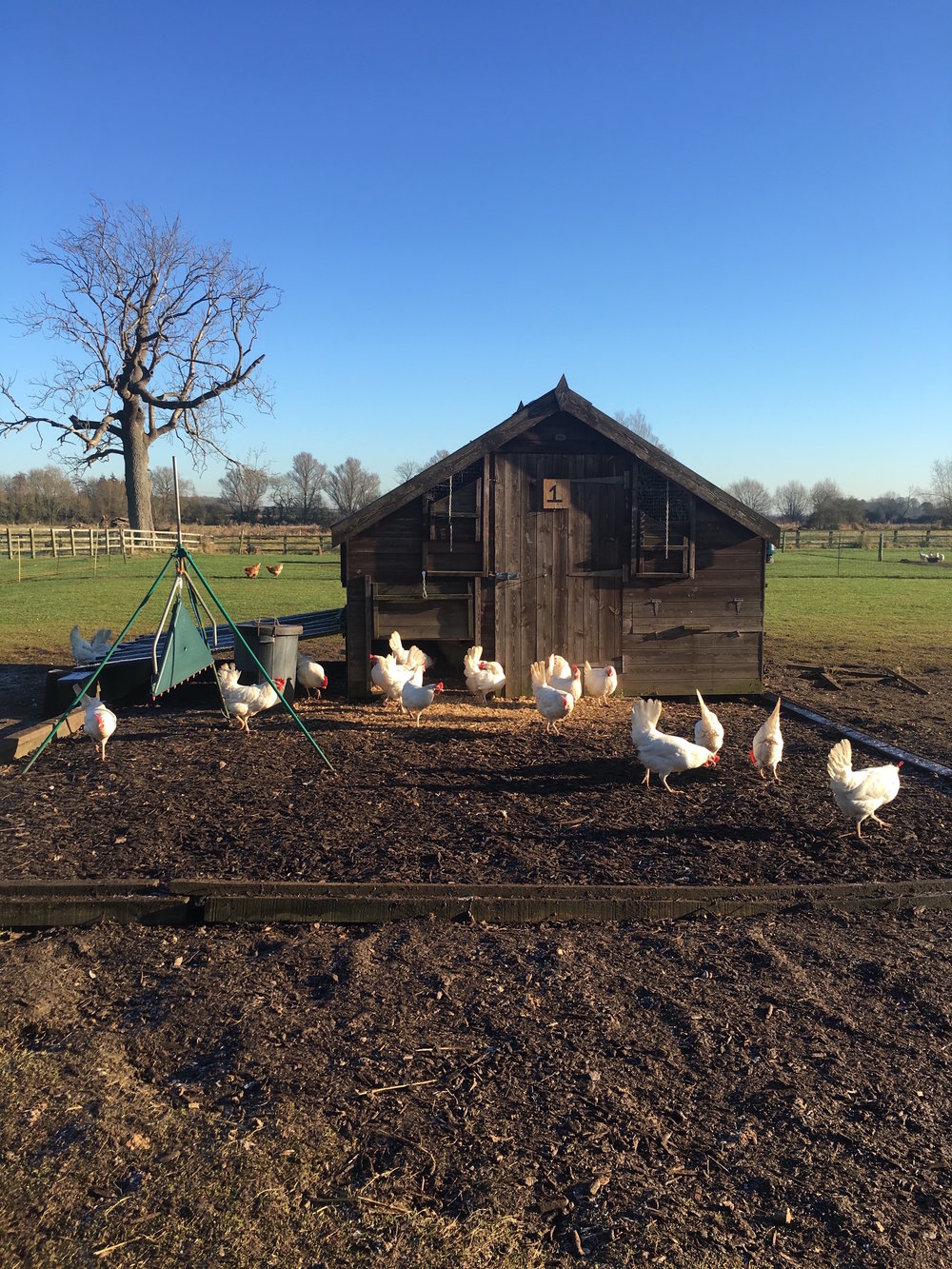 Thyme Farm Chickens