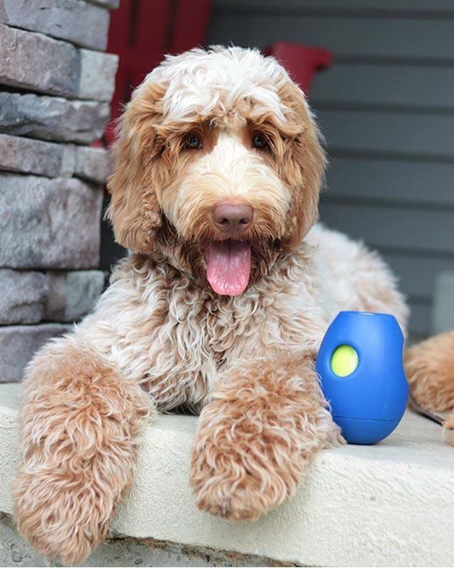 Don't forget to use code BUNNY for free shipping until Sunday evening!! 🐰 #dogenrichment #australianlabradoodle #labradoodle #goldendoodle #groodle #pug #toypoodle