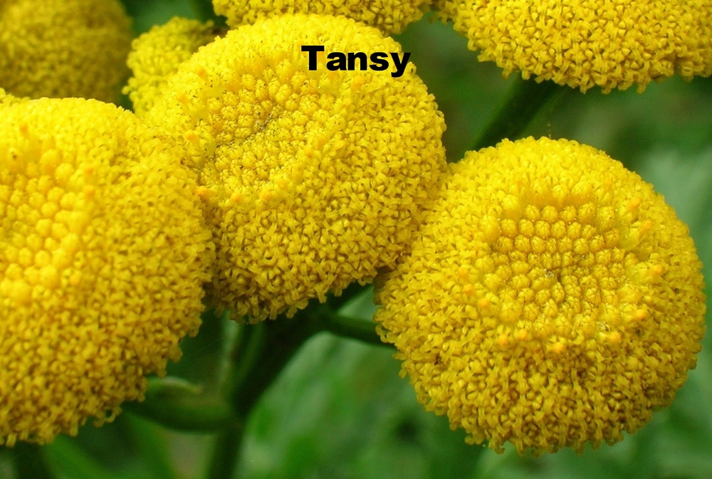 Close_up_of_Tanacetum_vulgare_flower_head (1).JPG