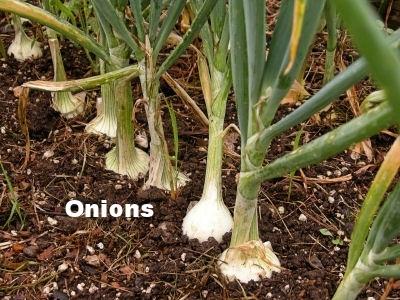 onion_plants.jpg