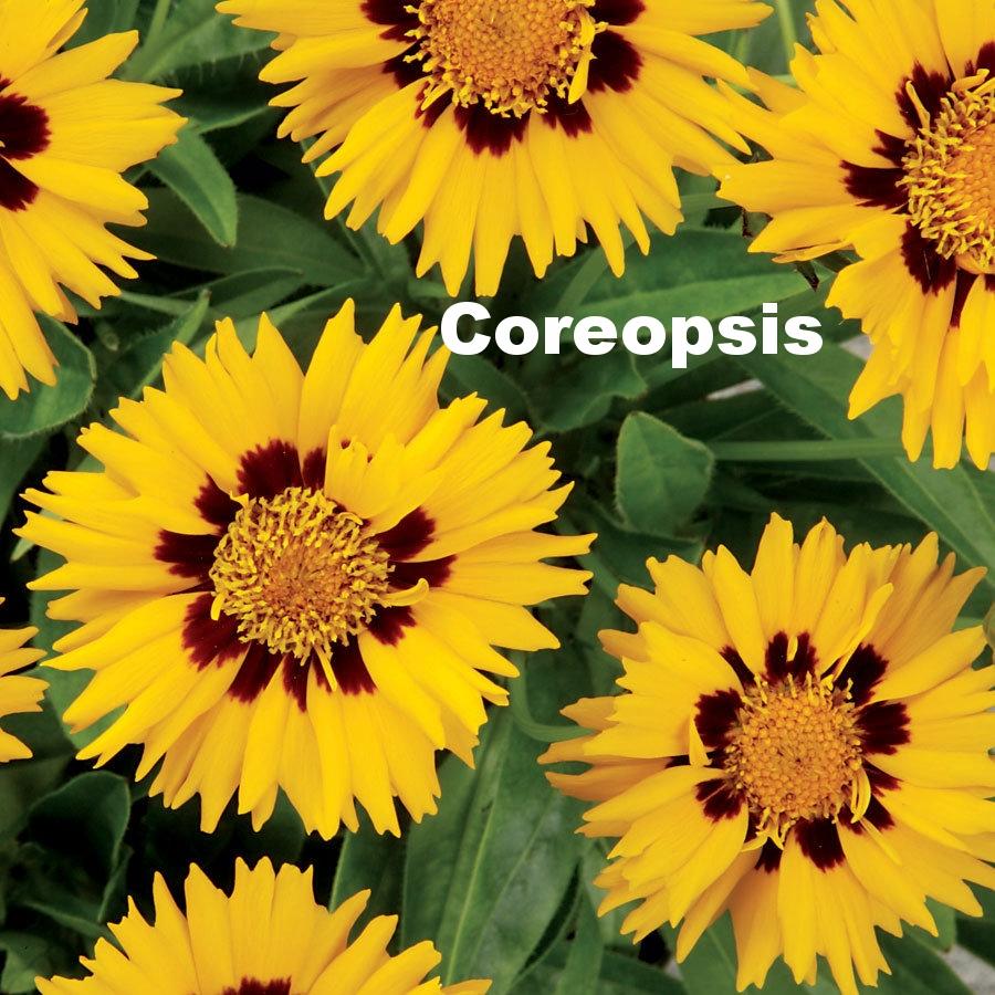 coreopsis-sun-fire.jpg