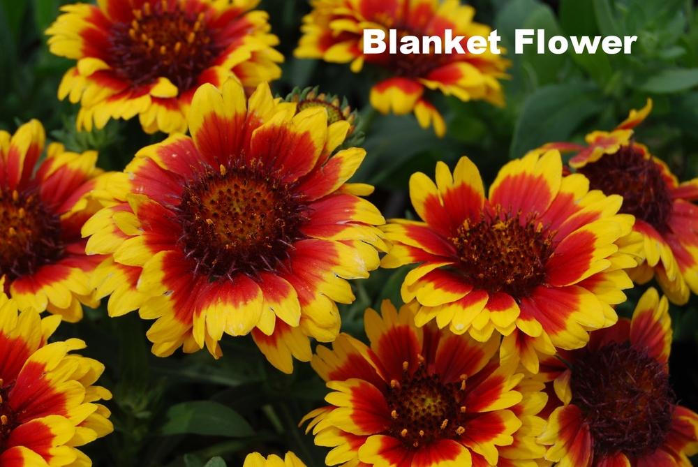 Gaillardia-Blanket-Flower.jpg