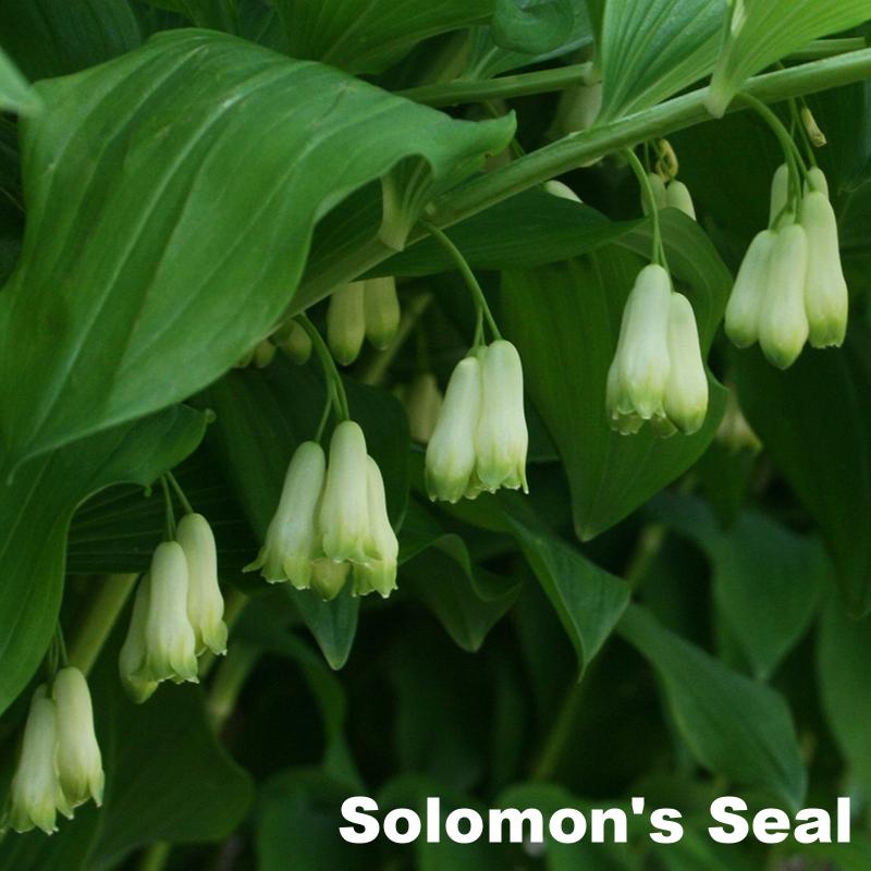 Solomons-Seal.jpg