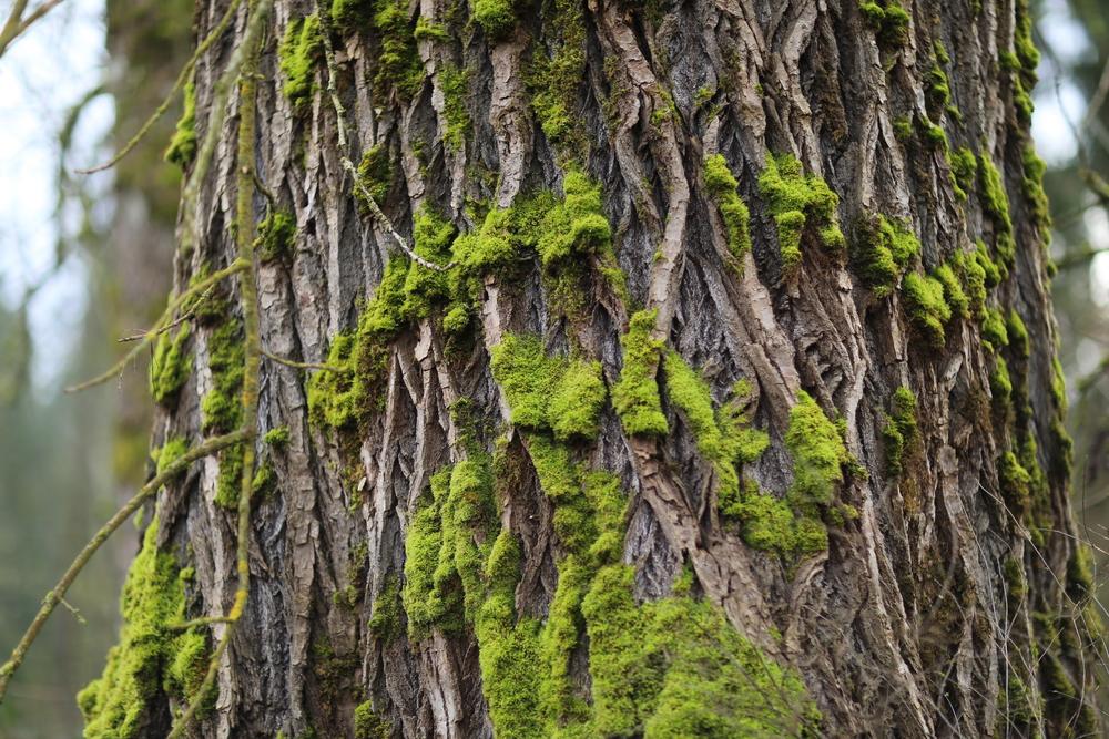 Tree moss, Yelm