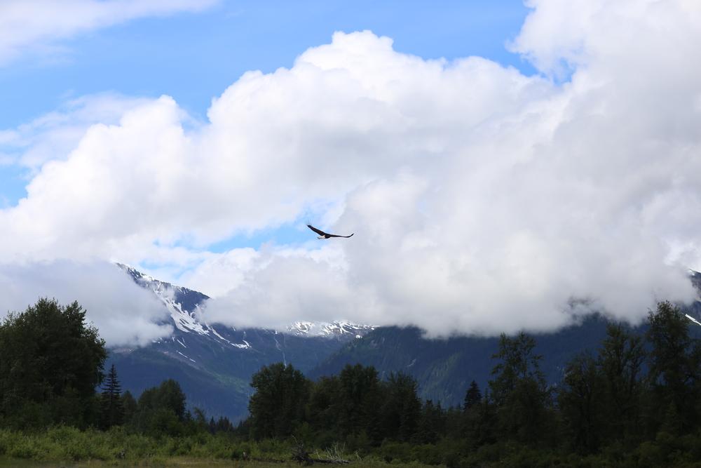 Bald eagle over the Taku River