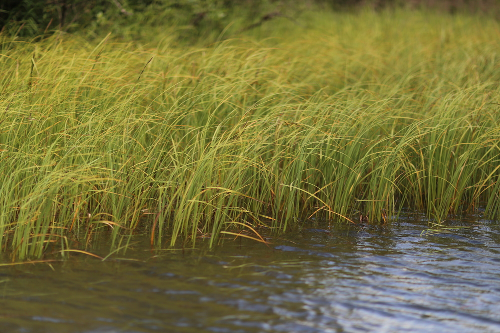 River grass along a slough off the Taku River