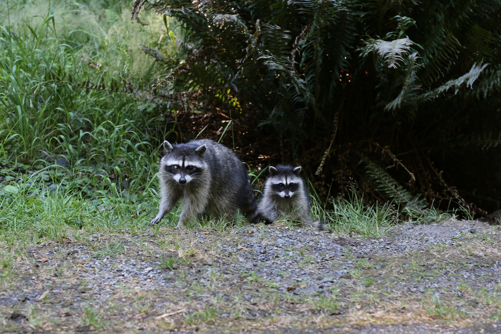 Mother and juvenile raccoons along Five-Mile Drive