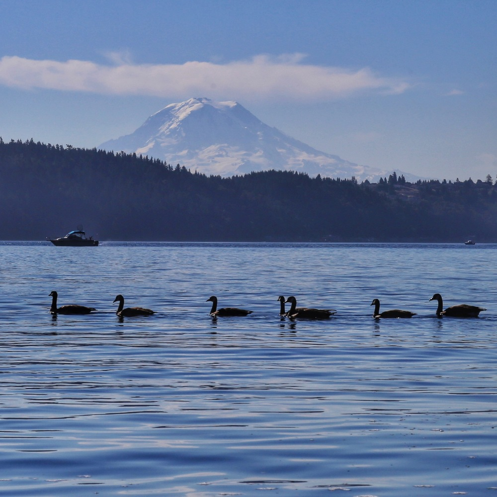 Geese at the end of the harbor, with Rainier looming in the background