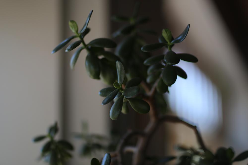 Jade tree <3