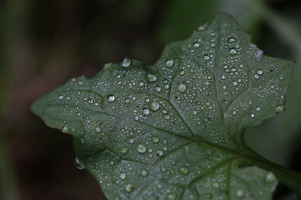 Mist and dew covered leaf at Latourell Falls