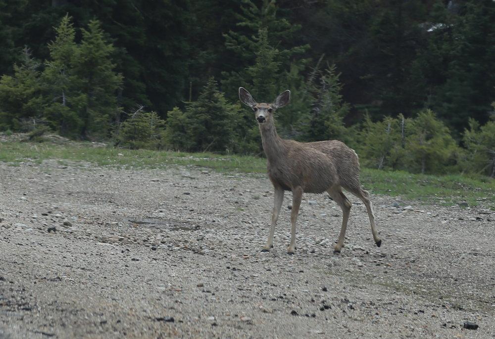 Deer along Highway 21