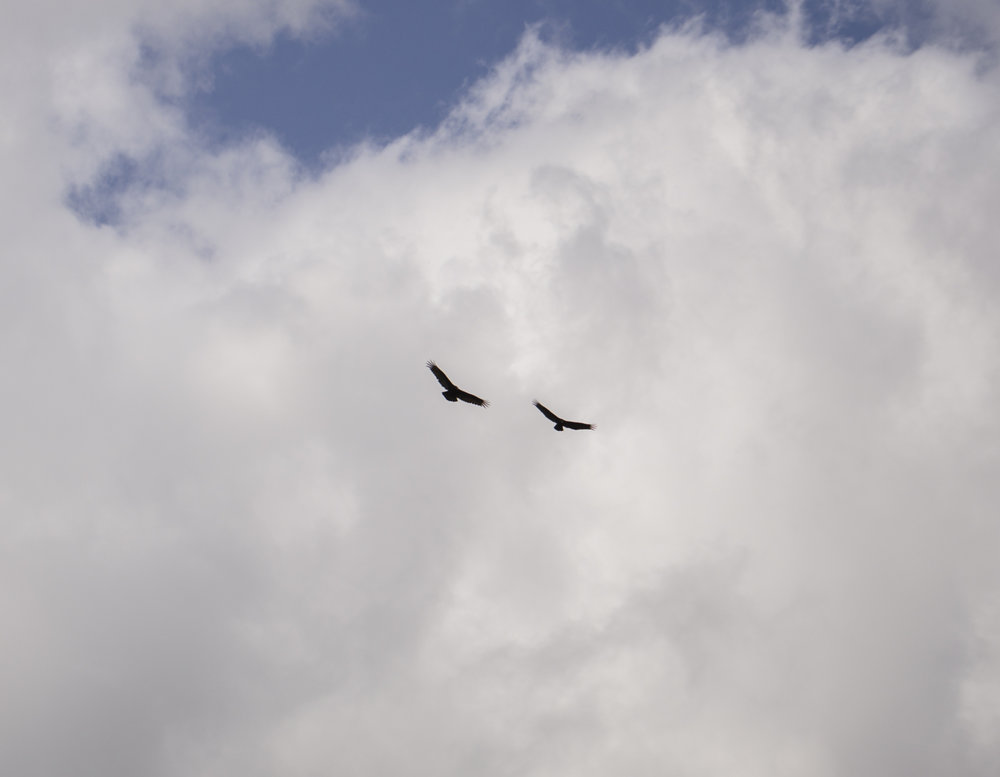 Two vultures