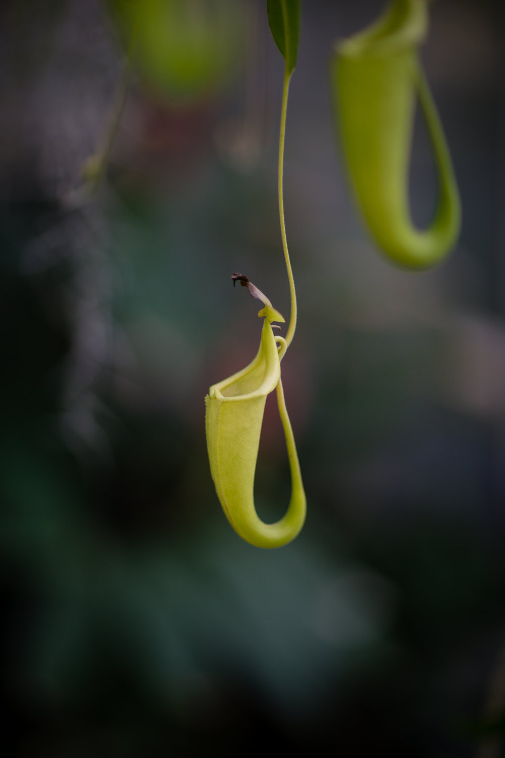 The carnivorous tropical pitcher plan from Borneo