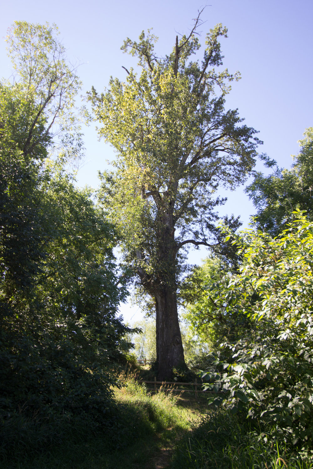 The nation's largest black cottonwood