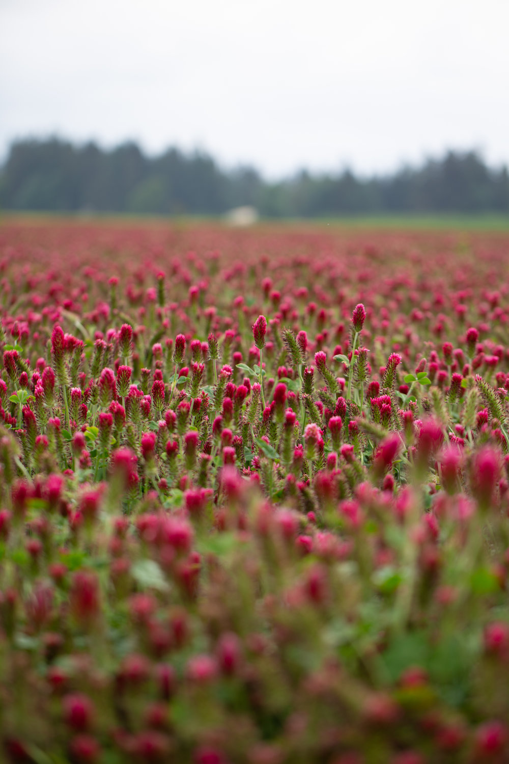Clover fields by the parking lot