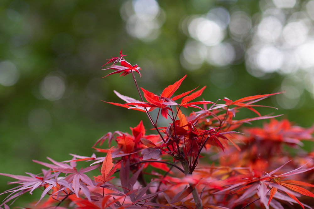 Japanese maple at Cockrell Ciders farm, Puyallup
