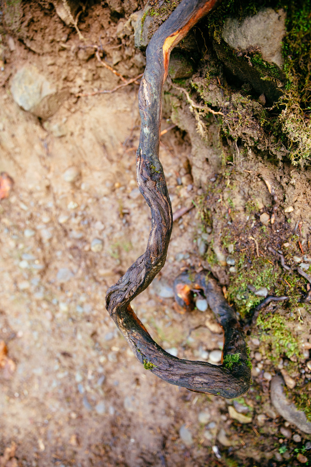 Exposed Madrone roots