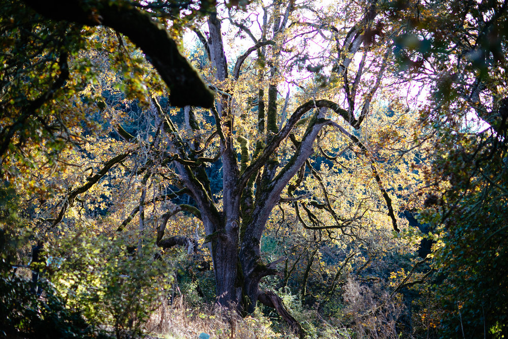 An oak tree over 500 years old