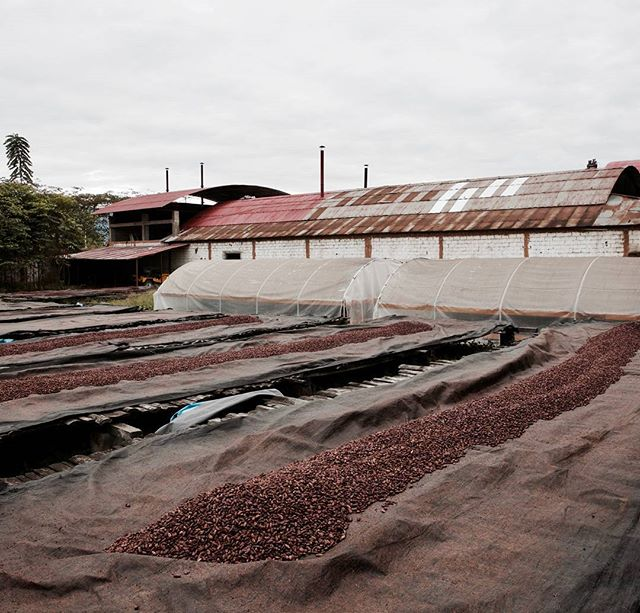 Fermented cacao beans drying at CAC Pangoa. Each night the beans are covered up to keep the dew off them.