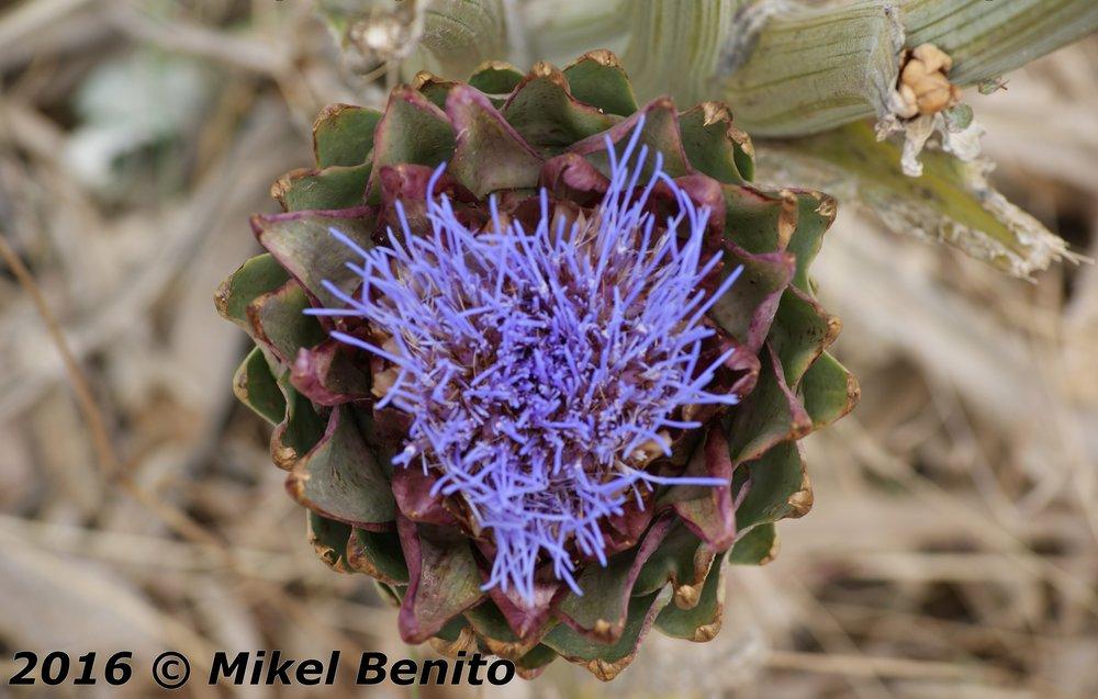 Esta es la flor del corazón de la Alcahofa, que tanto abunda en Quel y en La Rioja Baja.