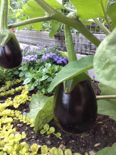 Black Beauty eggplant, a reliable producer in 70-75 days