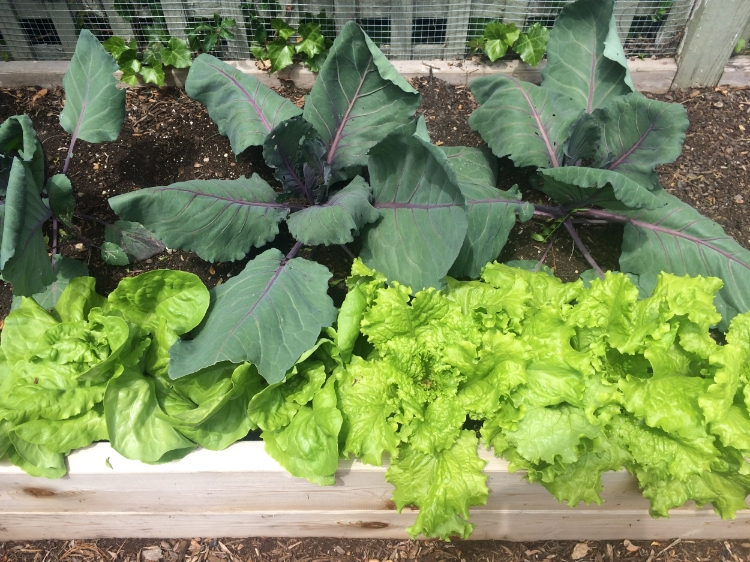 Purple cabbage and Mantilla lettuce.  Both will be harvested in the coming weeks and replaced with carrot seed.