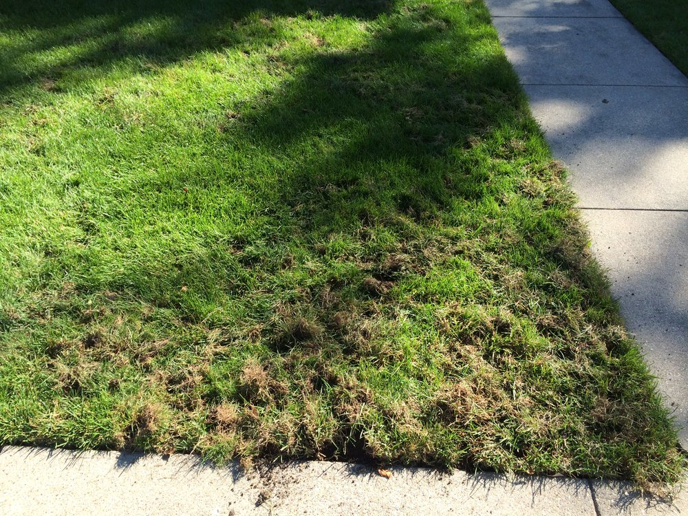 How do i know if i have grubs in my lawn