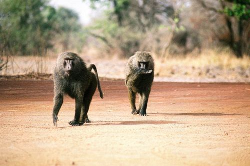 baboon.jpg