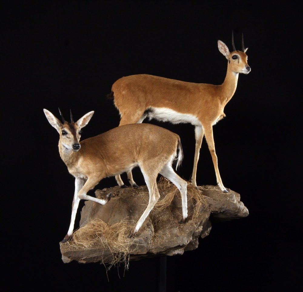 SMALL ANTELOPES