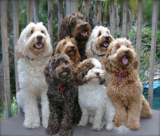 Labradoodle Sizes -