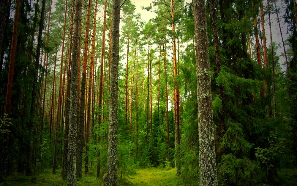 7006195-pine-forest-background.jpg