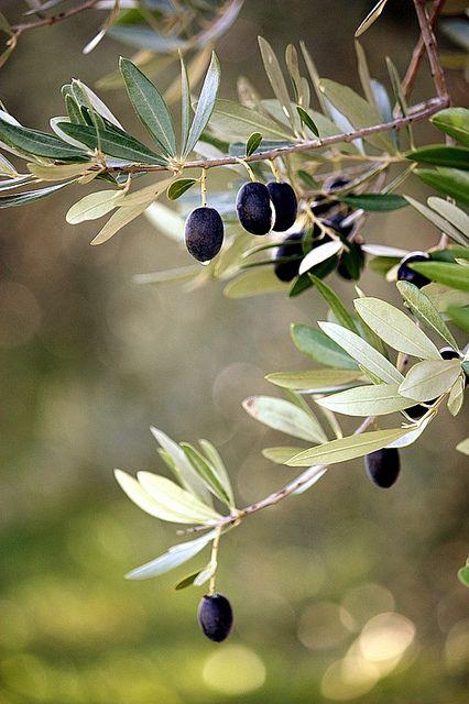olivebranch.jpg
