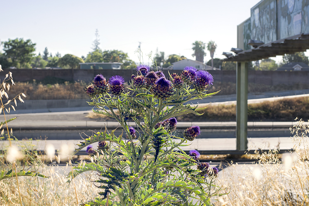 Thistle. San Jose, CA.