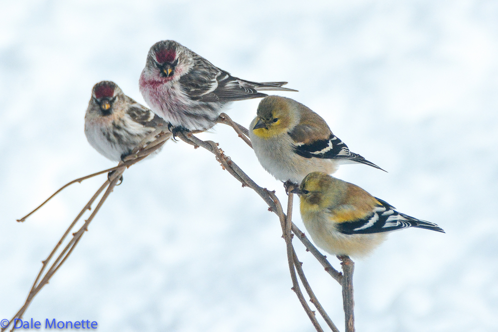 Common redpolls / Goldfinches