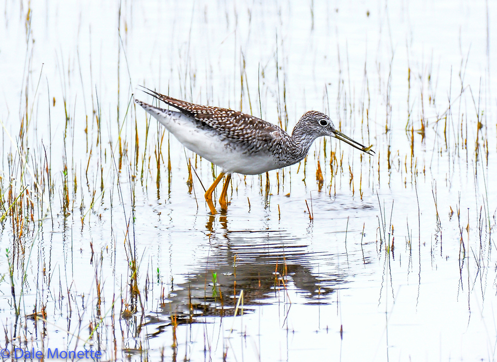 Greater Yellowlegs with minnow during fall migration.