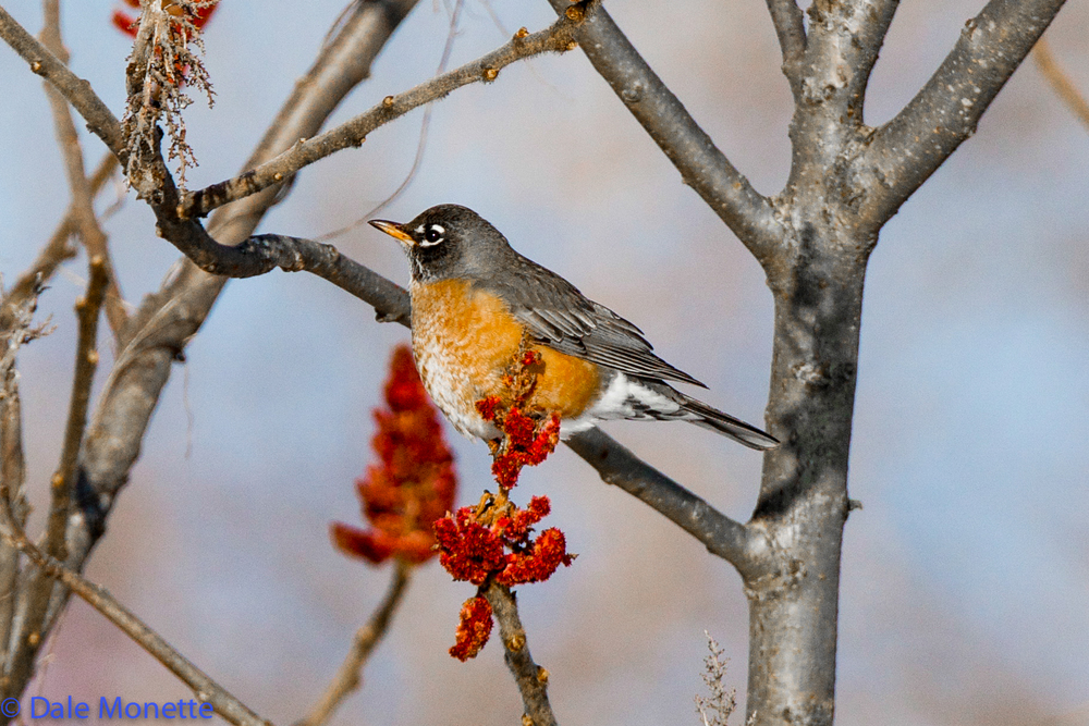 Robin spending the winter at Quabbin. on Sumac.