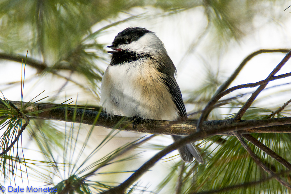 "Black capped chickadee singing its ""spring"" feee beee song"