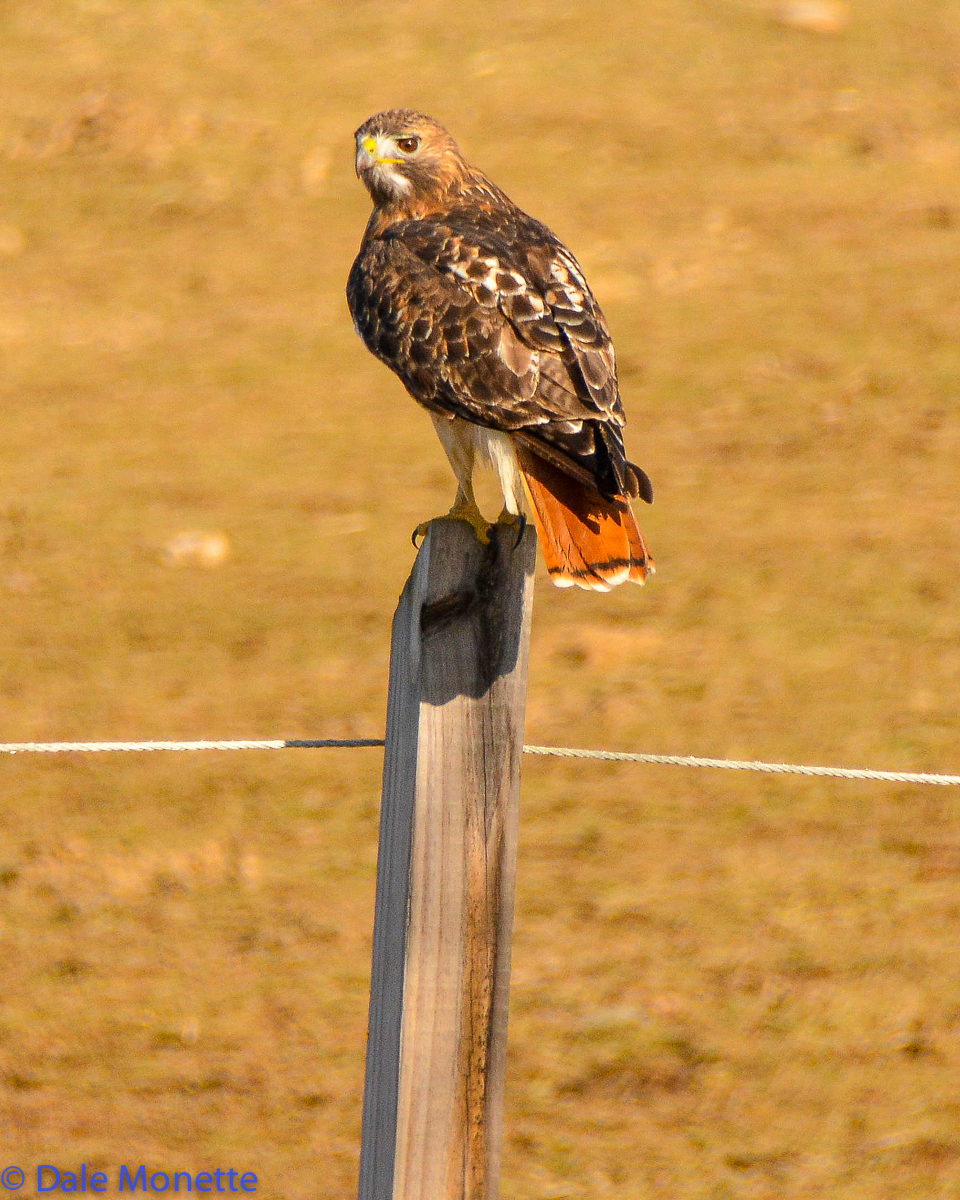 Red tailed hawk watching for its lunch to run across a meadow