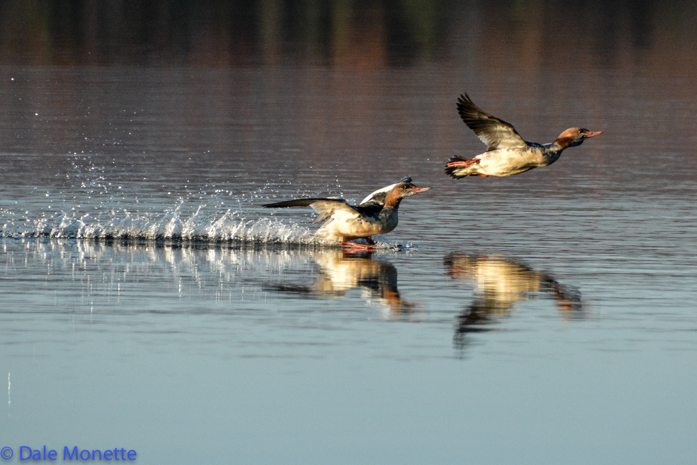 Common mergansers ….touchdown !
