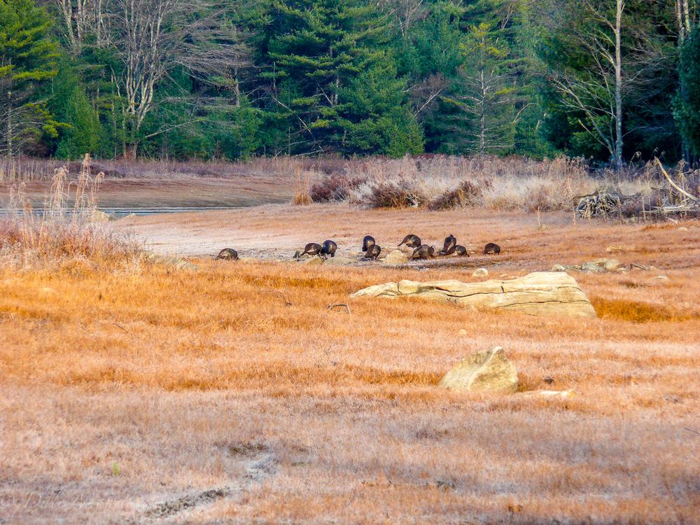 Turkeys are safe as there is no turkey hunting season in the Quabbin….