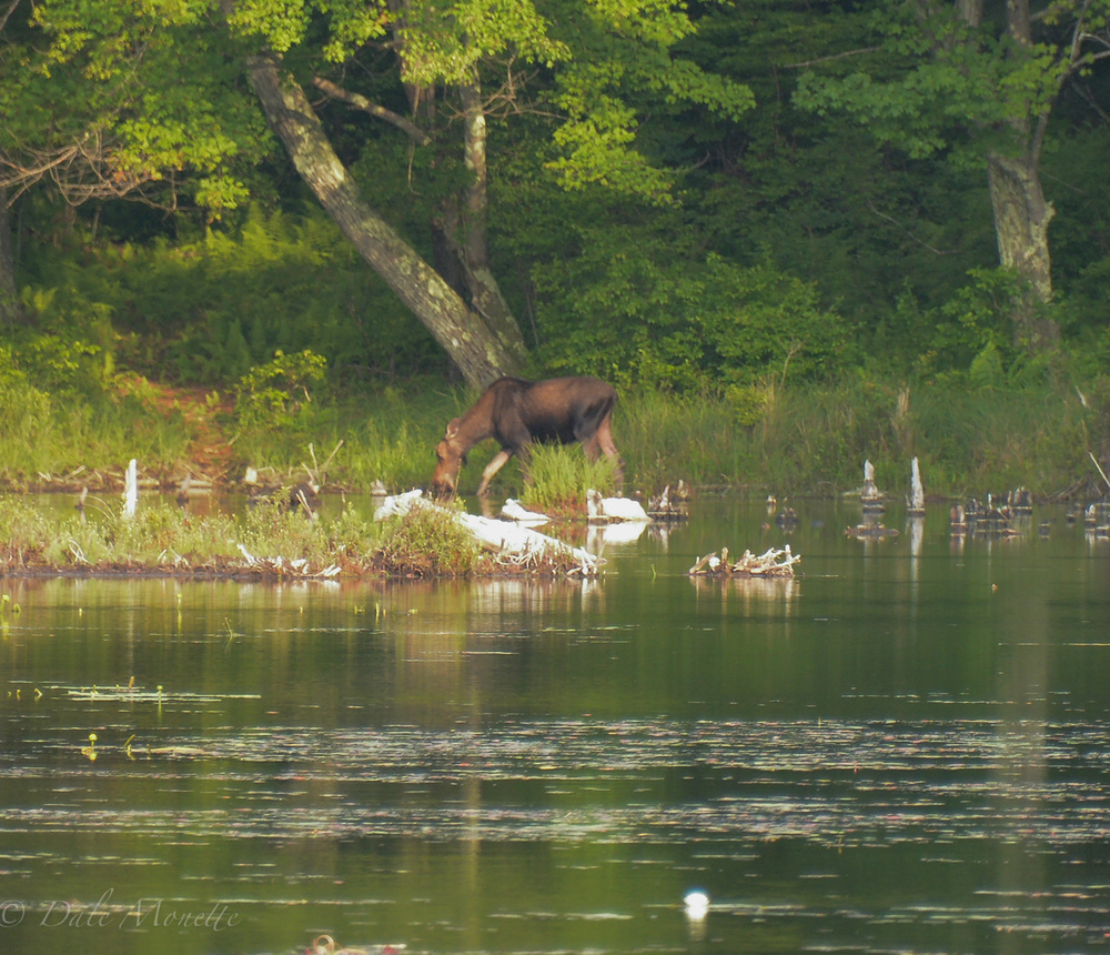 Moose can be seen feeding all summer at small ponds and wetlands throughout the watershed
