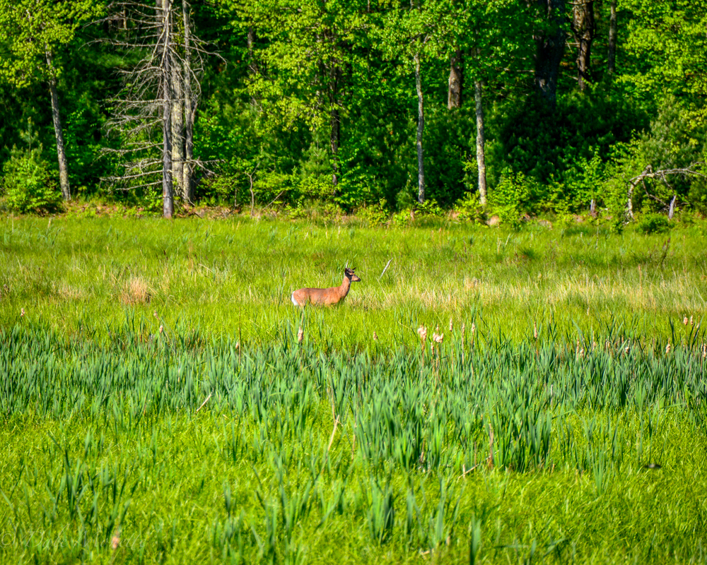 A white tailed deer buck feeds in an abandoned beaver pond that has turned to a meadow.