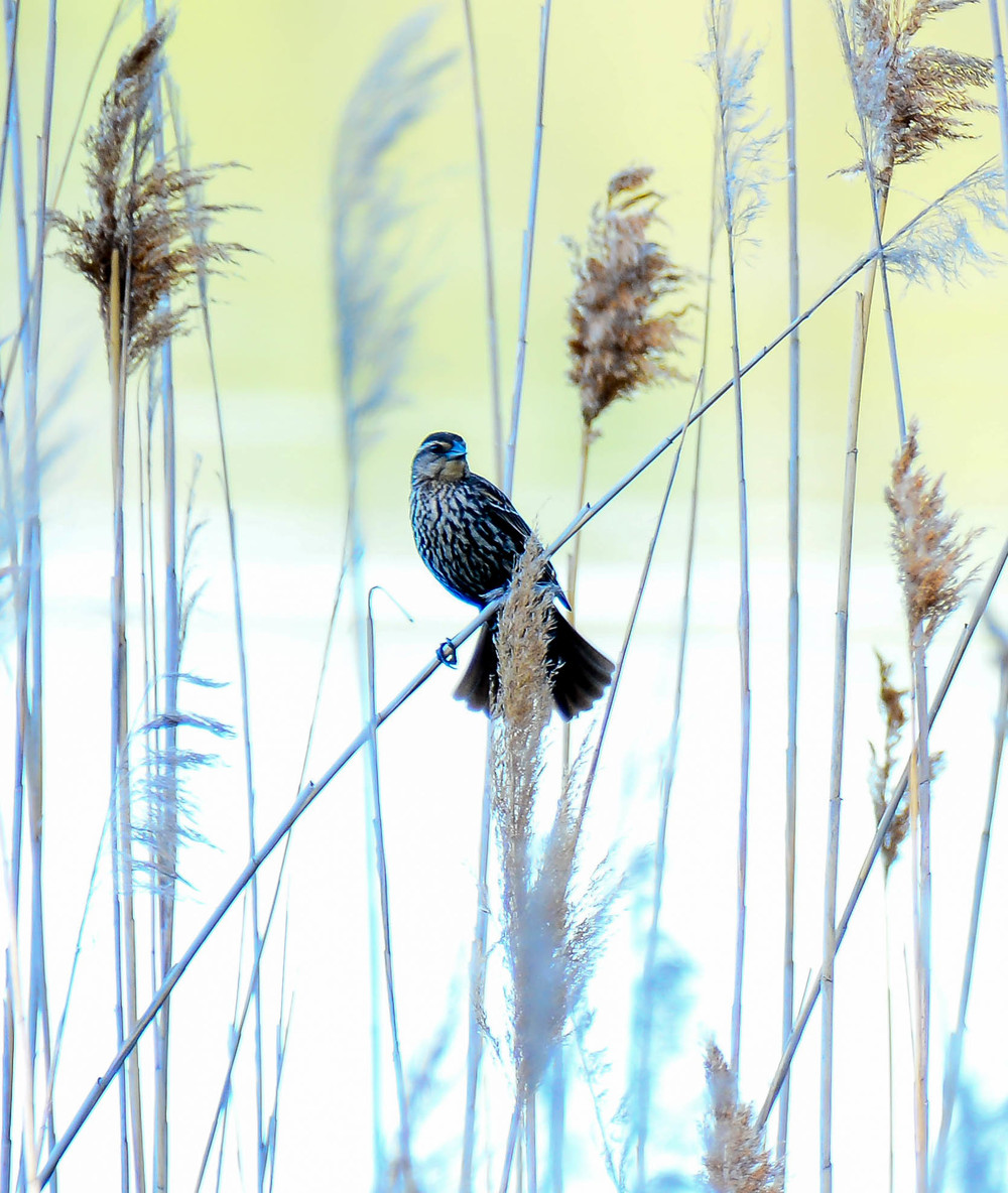 Female red wings blackbirds are looking for places to nest in the phragmites.