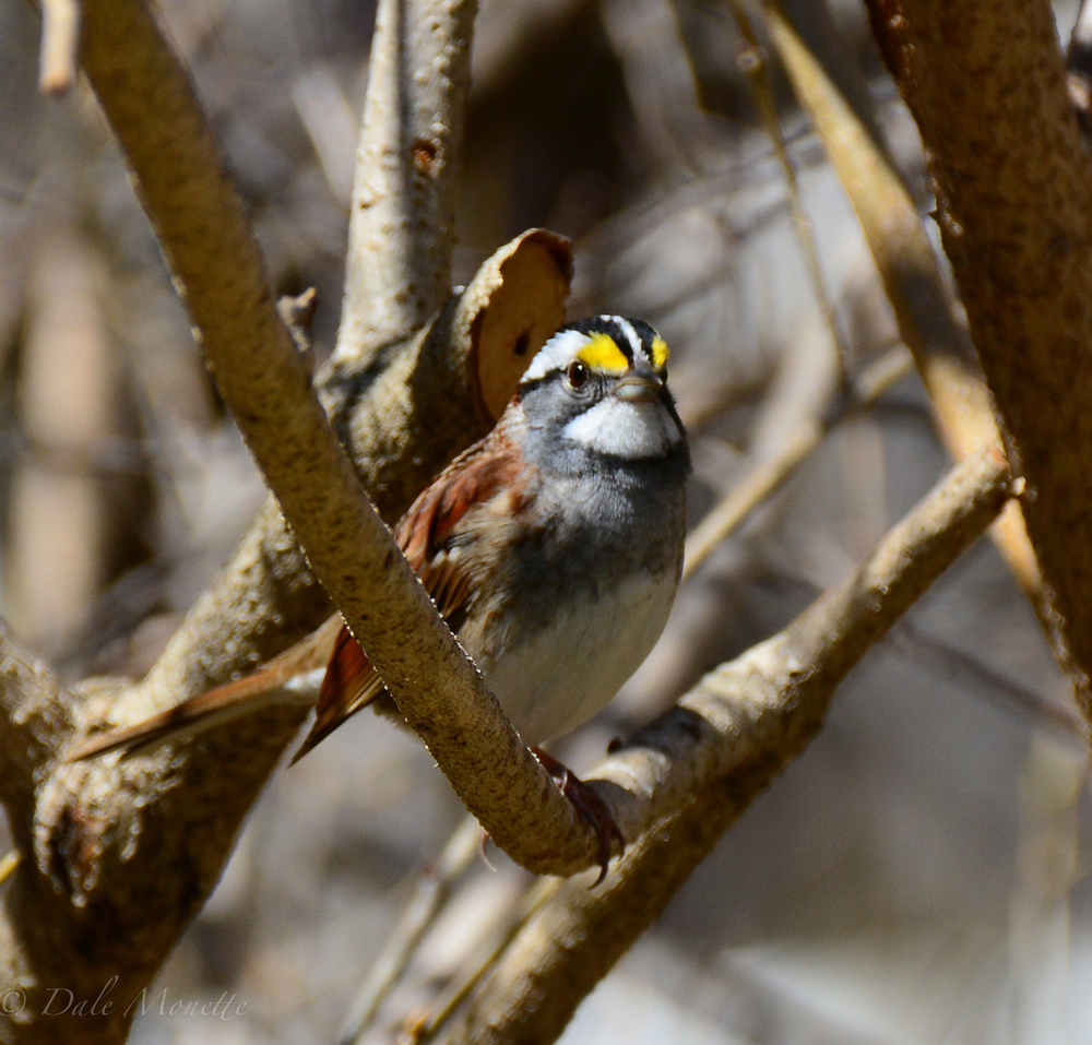 White throated sparrow….