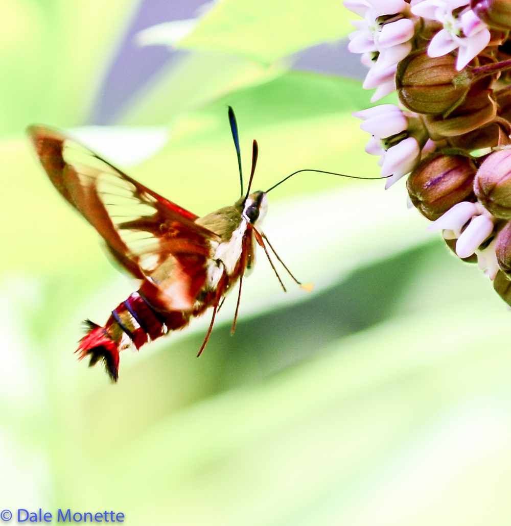 Hummingbird moths sometimes fool people into thinking they are watching a hummingbird with their rapid wing beats.