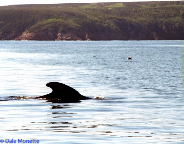 Pilot whales are very common around Cape Breton throughout the summer and fall.